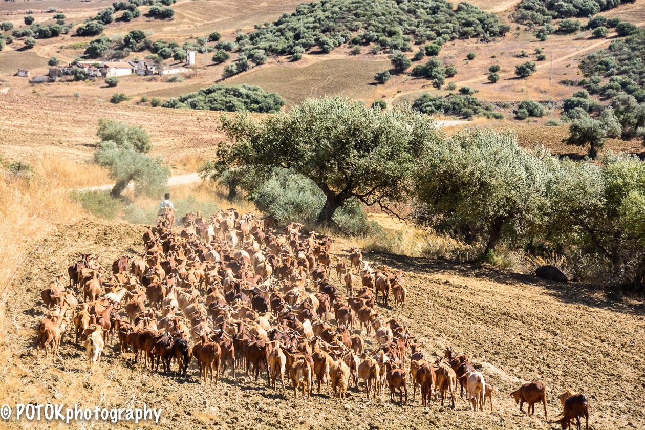 Herding-goats-1679.JPG