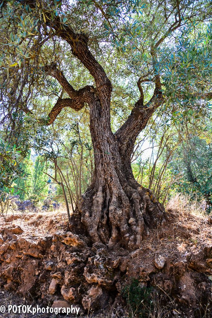 Old-olive-tree-0938.JPG