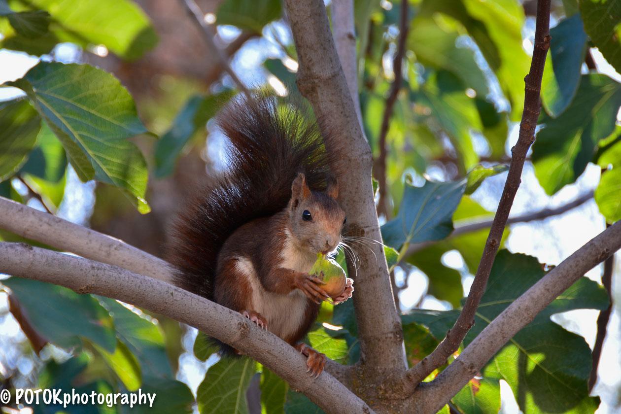 Squirrel-eating-a-fig-1587.JPG